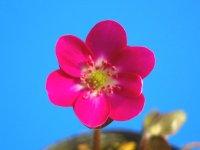 雪割草標準花 『赤色花』