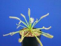 アフリカナガバモウセンゴケ白花種(カペンシス) 大