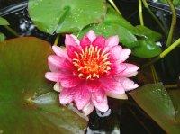 温帯性スイレン 赤花