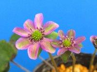 雪割草標準花 【重千代】