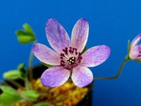 雪割草標準花 『吹っ掛け絞り・紫』