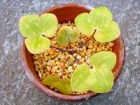 雪割草黄葉品種【金山晃】紫花