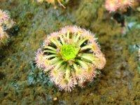 ピグミーモウセンゴケ『ニチヅラ交配種』