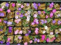 雪割草標準花花色ミックス10株セット