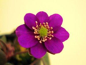 画像1: 雪割草標準花『赤紫色花』