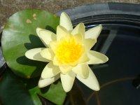 温帯性スイレン 黄花
