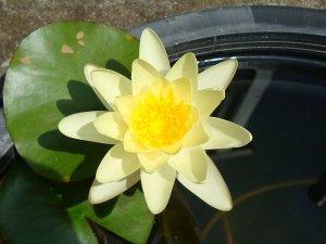 画像1: 温帯性スイレン 黄花