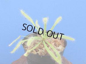 画像1: アフリカナガバモウセンゴケ白花種(カペンシス)