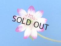 雪割草標準花『爪紅花』